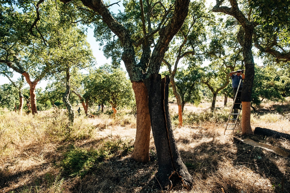 Weinkorken sammeln zum Schutz der Korkeiche